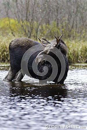 Wildlife male moose