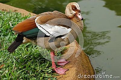 Wildlife mandarin duck