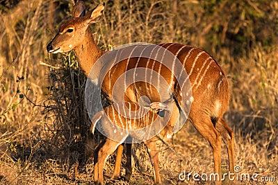 Wildlife Nyala Buck Feed Calf