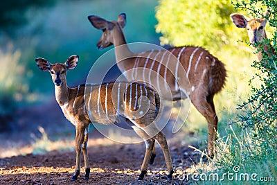 Wildlife Nyala Bucks Alert