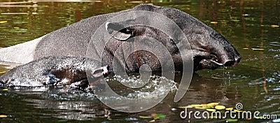 Wildlife tapir