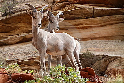 Wildlife in Zion