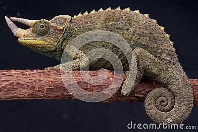 Willegensi s Jackson s chameleon