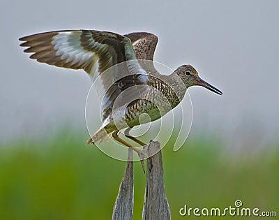 Willet del este que exhibe las alas