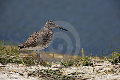 Willet, eastern subspecies