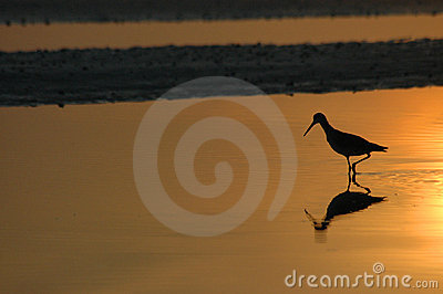 Willet in reflecting wading pool