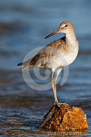 Free Willet Rock Royalty Free Stock Images - 25691019