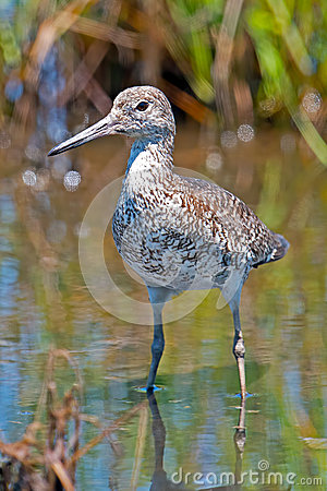 Free Willet Standing In Water Royalty Free Stock Image - 25472276