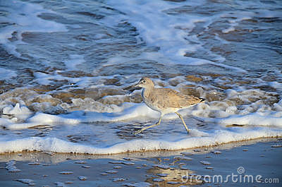 Willet striding in waves