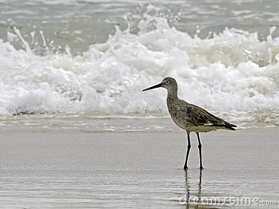 A willet (type of sandpiper) wades ocean surf