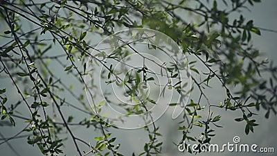 Willow Branches Swinging in de Wind door de Rivier op een Heldere Dag aan het begin van de Lente stock video