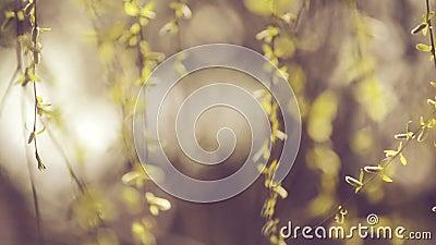 Willow Branches Swinging in de Wind op een Heldere Dag aan het begin van de Lente, stock footage