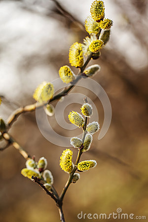 Free Willow Branches With Buds Blossoming In Early Spring Stock Image - 48976591