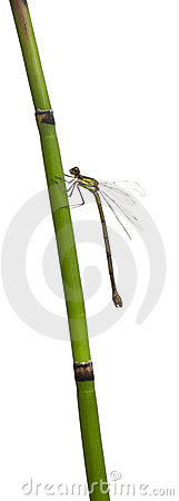 Willow Emerald Damselfly or the Western Willow