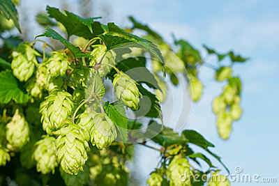 Willow of hop