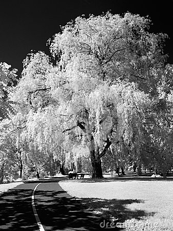 Willow in infrared