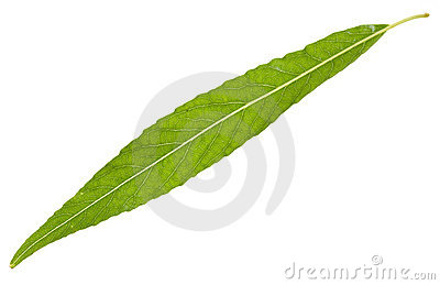 Willow leaf isolated
