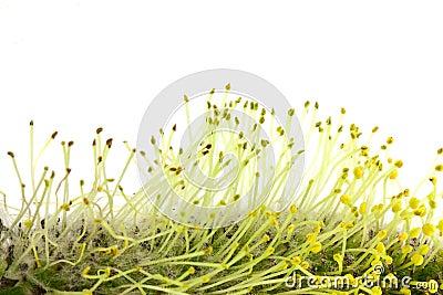 Willow Pollen