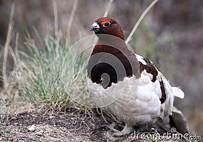 Willow Ptarmigan - Alaska State Bird
