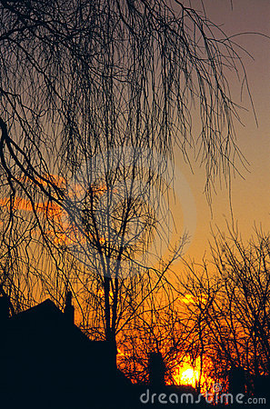 Willow and Rooftops at Sunset