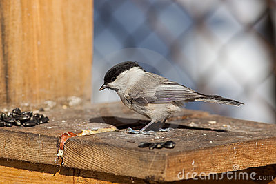 Willow Tit, Black-capped Chickadee, Parus montanus