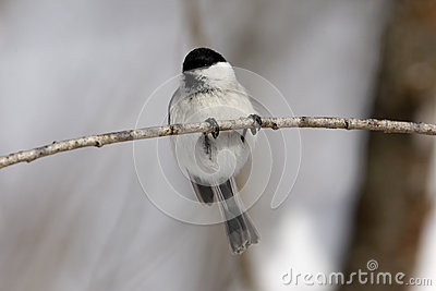 Willow tit, Parus montanus