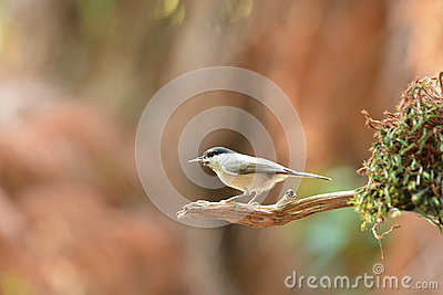 Willow tit in tree