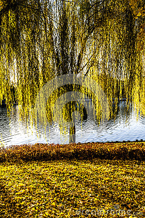 A willow tree on the grass