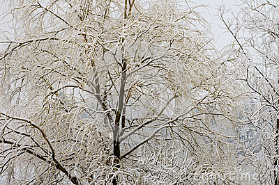 Willow tree with snow