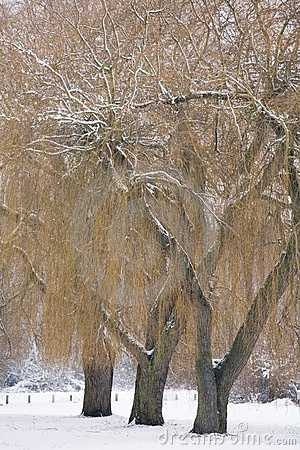 Free Willow Trees In Winter Stock Images - 6251184