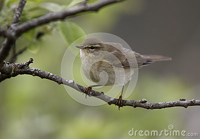Willow warbler, Phylloscopus trochilus