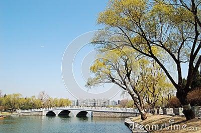 Willows beside bridge