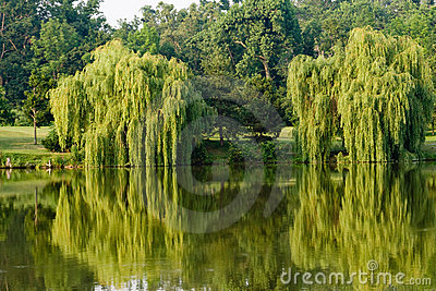 Willows and reflections