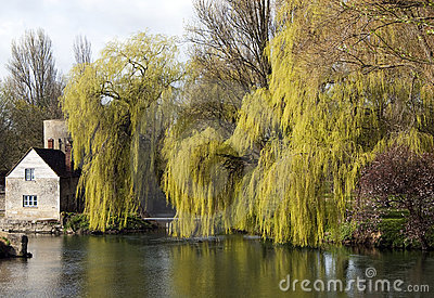 Willows by river Thames, England