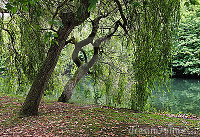 Willows by the RiverThames in England