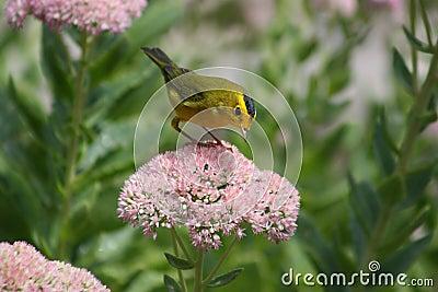 Wilson s warbler