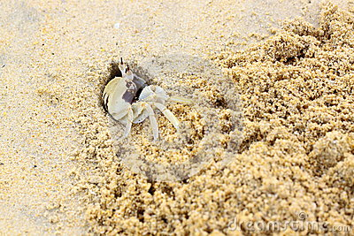 Wind crab or horned ghost crab