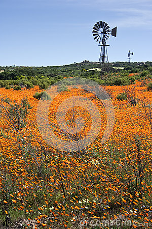 Wind pump in field of orange flowers