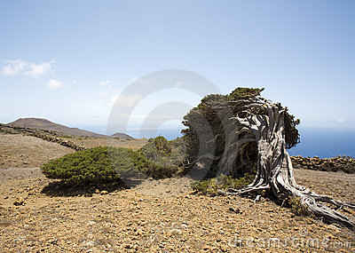 Wind shaped juniper tree, El Hierro