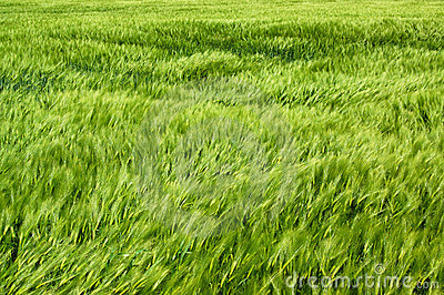 Wind in the wheatfield