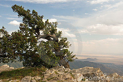 Windblown mountaintop tree