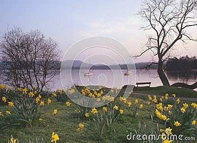 Windermere daffodils, Cumbria
