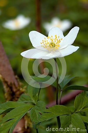 Free Windflower Royalty Free Stock Photo - 30731475