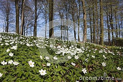 Windflower (Anemone nemorosa)
