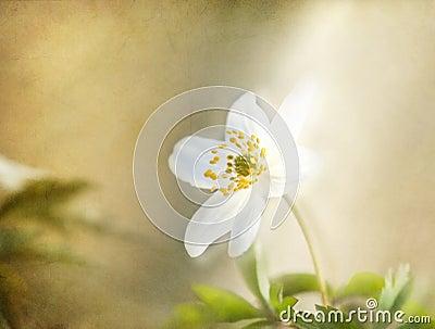 Windflower , romantic background, textured.