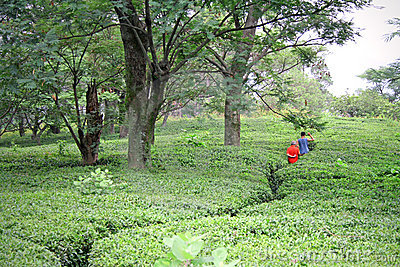 Winding path through kangra tea gardens, india