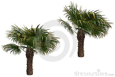 Windmill palms