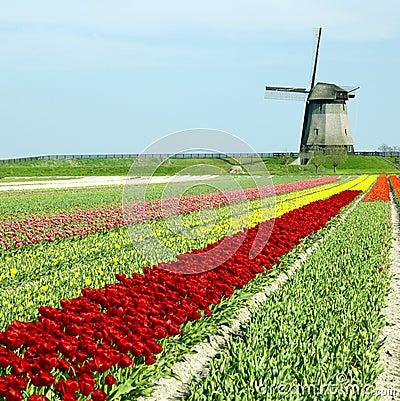 Windmill with tulip field