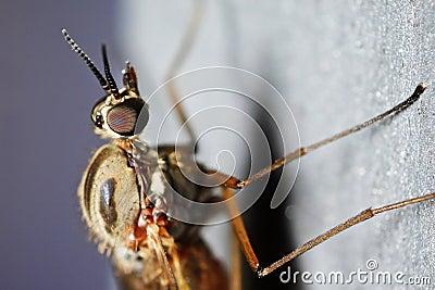 Window gnat (Anisopodidae)