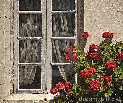 Window, Lace, and Red Flowers